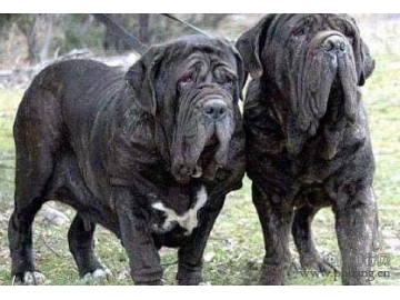 世界五大猛犬,排名第一的连自己主人也不放过,吓人